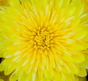 Center of a Yellow Carnation Royalty Free Stock Photography
