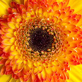 Center of Yellow Gerber Daisy Royalty Free Stock Images