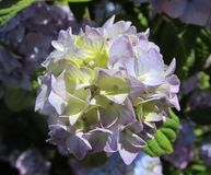 Centered Blossom Of Hydrangea. Centered view on a blooming hydrangea with blue to purple blossoms Stock Images