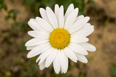 Centered daisy flower Royalty Free Stock Image