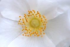 Centered flower. Centered white flower with yellow pistil Stock Image