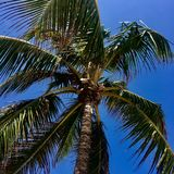 Centered palm tree. Centered zoom of the top of a palm leaves at the tip of the tree waving in the breeze with a clear blue sky backdrop. Picture was taken in Stock Photo