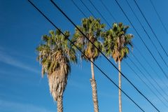 Centered view of three Washingtonia fan palm trees against a blue sky. Seen through multiple electric power lines, blue sky, vertical aspect Royalty Free Stock Images