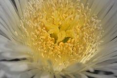 centeric желтый цвет Стоковая Фотография