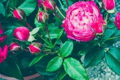 Centifolia上升了与叶子 自然花 软绵绵地集中 复制空间 文本的自由地方 一朵开花的红色玫瑰 开放 图库摄影