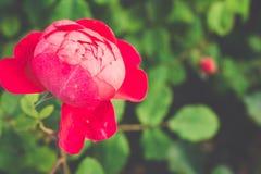 Centifolia与defocused叶子的红色玫瑰 自然花 软绵绵地集中 复制空间 文本的自由地方 一开花 免版税库存照片
