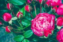 centifolia花束上升了与叶子 自然花 软绵绵地集中 复制空间 文本的自由地方 一进展的红色 库存照片