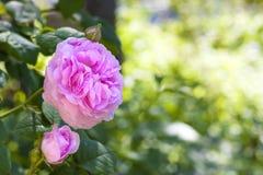 罗莎Centifolia (罗斯des Peintres)花 免版税库存照片