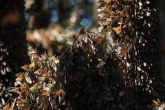 Centinaia di farfalle di monarca sull'albero di abete del oyamel Fotografia Stock