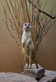 Centinela Meerkat Foto de archivo libre de regalías