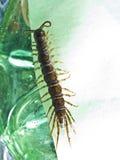 Centipède Photo libre de droits