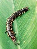 centiped na folha Imagem de Stock