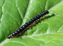 Centipede Stock Photography