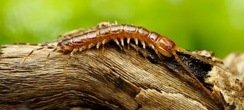 Centipede Stock Photo