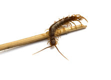 Centipede Royalty Free Stock Image