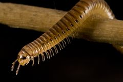 Centipede Stock Photos
