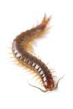 Centipede Stock Image
