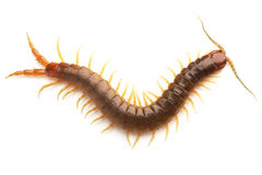 Centipede Stock Images