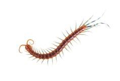 centipede Royaltyfri Bild