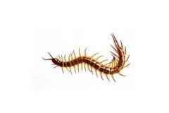 centipede Royaltyfria Bilder
