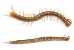 Centipede Royalty Free Stock Photography