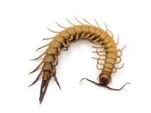 centipede Arkivfoto
