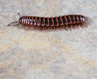 centipede royaltyfria foton