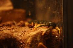 Centipede 02 stock photos