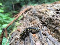 Centipede crawl. Ing on a fallen redwood tree Royalty Free Stock Photos