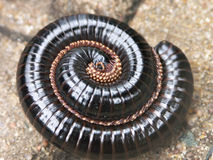 Centipede curled up Stock Images