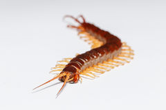 Centipede Royalty Free Stock Photos