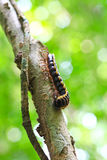 Centipede Royalty Free Stock Images