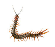 Centipede Isolated Royalty Free Stock Image
