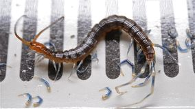 Centipede struggling and trying to get out of bug catcher. Centipede struggling and trying to get out of a bug catcher stock video footage