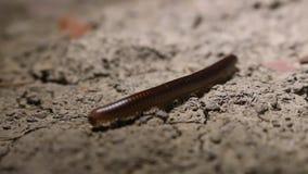 Centipede w Crimea zdjęcie wideo