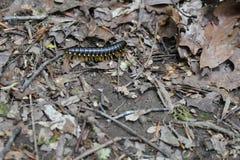 Centipede W drewnach fotografia stock