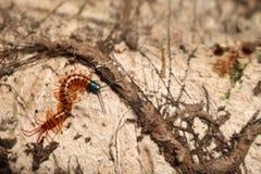 Centipede w ogródzie Obraz Stock