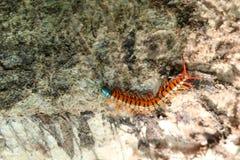 Centipede w ogródzie Obrazy Royalty Free