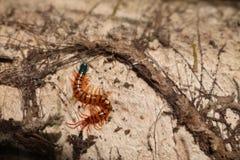 Centipede w ogródzie Fotografia Royalty Free