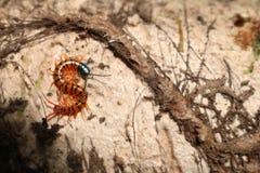 Centipede w ogródzie Obraz Royalty Free