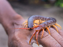 Centipede Walked on Hand Stock Photos