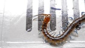 Centopiedi che lotta e che prova ad uscire del collettore dell'insetto video d archivio