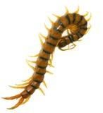Centopiedi gigante di Scolopendra Fotografia Stock