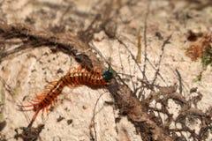 Centopiedi nel giardino Immagini Stock Libere da Diritti