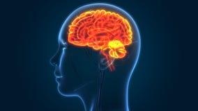 Centraal Orgaan van het Menselijke Zenuwstelsel Brain Anatomy royalty-vrije illustratie