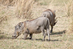 Central African warthog. Common warthog (Phacochoerus africanus) kneel and move around on the wrists of its front legs while  digging for juicy roots Stock Photo