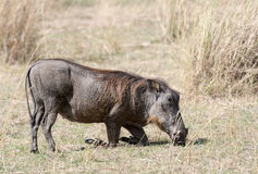 Central African warthog. Common warthog (Phacochoerus africanus) kneel and move around on the wrists of its front legs while  rooting for rhizomes.The kneeling Stock Photo