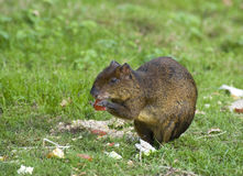 Central American Agouti Stock Image