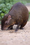 Central american agouti Stock Photography