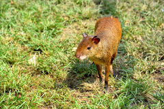 Central American agouti Royalty Free Stock Photos
